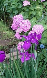 薬師池の紫陽花.jpeg